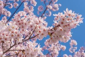 japan sakura blossom